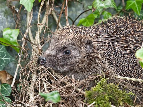 1000/462: 28 May 2011: Hedgehog by nmonckton
