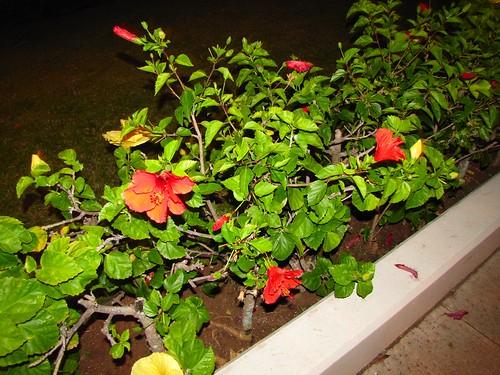 hibiscus bushes at night
