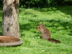 Eating (Ken-Zan) Tags: green home garden visitor ekorre gräs kenzan kurre ljunghav