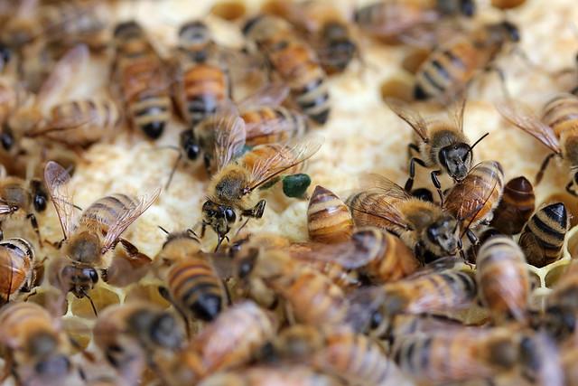 Green pollen bee