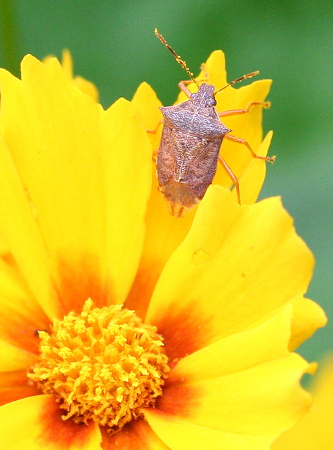 stink bug Podisus maculiventris - Spined Soldier Bug