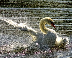 wild thing (Ronnie jimmy) Tags: swans rons blinkagain bestofblinkwinners