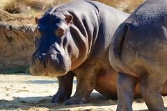 Just waking up, Werribee Zoo (jozioau) Tags: sal70400g zoo hippo