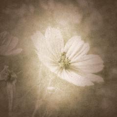 Small dreams series (Nick Kenrick.) Tags: bee honeybee cosmos