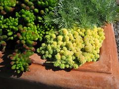 Sedum hispanicum var. minus Aurea (Kelley Macdonald) Tags: sedum sedumhispanicum sedumhispanicumvarminusaurea tinybuttonssedum
