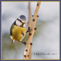 Blue Tit (Pole dancer). View on black press L. (Mick Bourke.) Tags: blue tree eye nature pose branch tit bokeh dancer cutie bark 1001nights bluetit appearance distinctive poledancer cutebird azureblue canon60d canon7020028is doublyniceshot distinctiveappearance