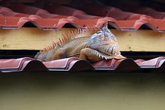 Sitting pretty (ejhrap) Tags: roof costa green tile reptile rica lizard iguana spine common