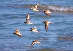 Ringed Plover Flight (RobIreland) Tags: ocean ireland sea bird nature birds newcastle wildlife arts plover ringed robireland