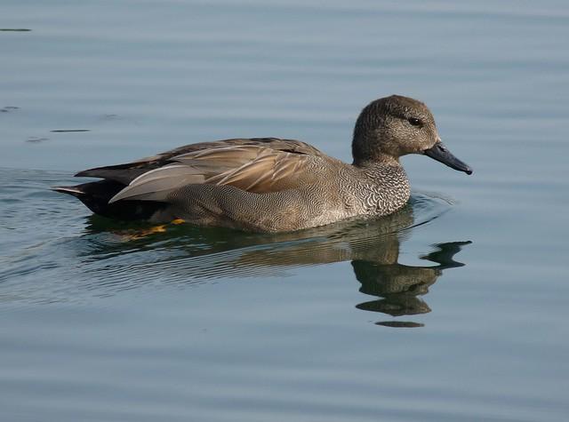 24060 - Gadwall, Sandy Water Park, Llanelli