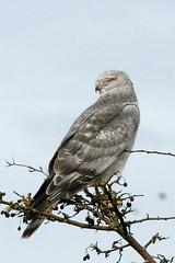 Male Harrier (Paridae) Tags: hawk harrier birdsofbc maleharrier birdsofboundarybay birdsofdelta