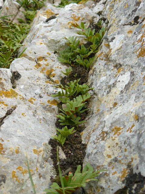 ferns and lichens