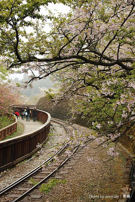 阿里山櫻花季陰天版29