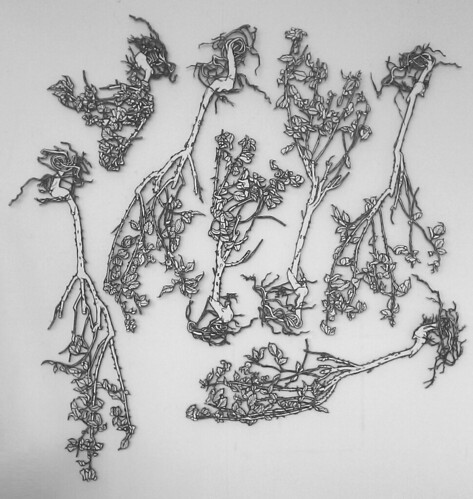 Rose Bushes Drawing on Studies of a Rose Bush