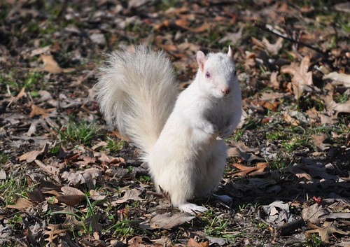 Olney IL - Home of the white squirrels