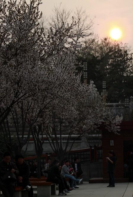 古城绽樱花06