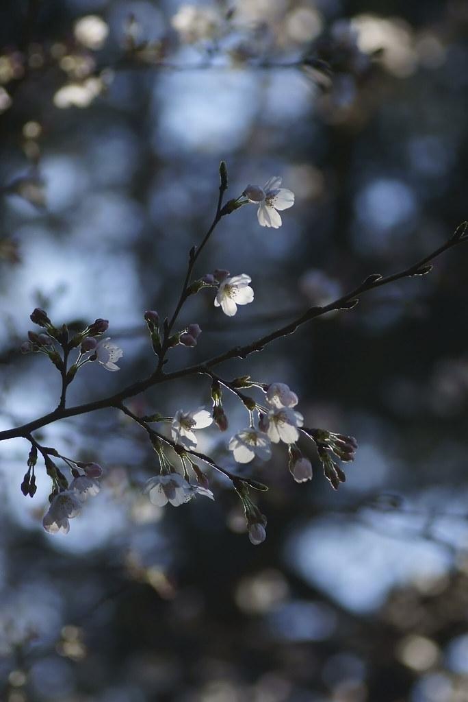 Cherry Blossom 41