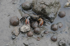 大肚溪口的野生動物慘遭集塵灰污染。照片提供:黃淑英國會辦公室。