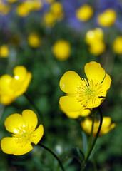 Pop! (Bhamgal) Tags: flower yellow petals birmingham nikon bokeh alabama waxy groundcover d40
