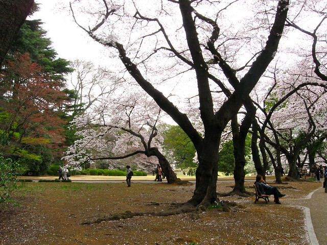 桜の木々のフリー写真素材