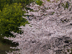 Cherry blossoms in dizzle 01
