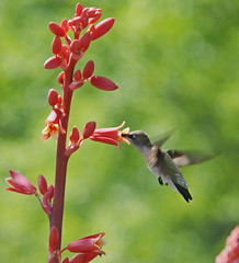 Sweet!! (Kreative Capture) Tags: inflight wings hummingbird sweet bokeh thirsty redflowers sugarwater yuccablossom redbloom rubyredthroated photocontesttnc11