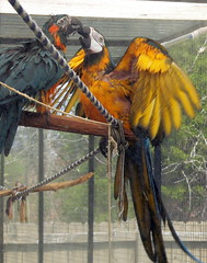 ARE YOU OKAY, YEAH HOW ABOUT YOU? (RLBrinkman~in and out-mostly out) Tags: birds grey aviary macaw pars parrots