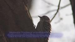 Japanese Pygmy Woodpecker (Polotaro) Tags: bird nature pen olympus  ep1     fzuiko300mmf45teleconverter2xa