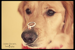 For me Amore (Golden Moments Petography) Tags: new boy red chien baby brown male guy yellow logo james golden big eyes friend jasper canine buddy retriever ring lad backdrop bandana gem edit k9 inu pse9