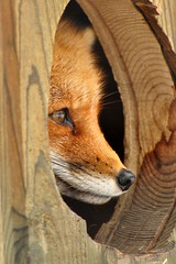 The Red Fox (affinity579) Tags: red wild animal closeup nikon quebec wildlife fox redfox ecomuseum naturesfinest d90 coth specanimal naturesgreenpeace