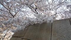 2011.4.7大坂城 石垣の桜