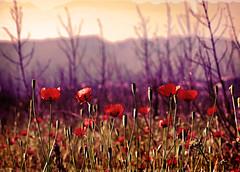 (nikasiopea) Tags: mountain valencia field spain nikon poppy campo d60 amapola
