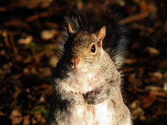 Squirrel pose number two. ( Shall this do nicely sir ? ) (gordon2208) Tags: park pose grey scotland squirrel fife anythinggoes pittencrieff pregamewinner