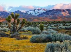 A Tehachapi Morning (DM Weber) Tags: california sunrise landscape antelopevalley joshuatrees sagebrush goldfields clearingstorm tejonranch tehachapis eos5dmkii psa148 dmweber