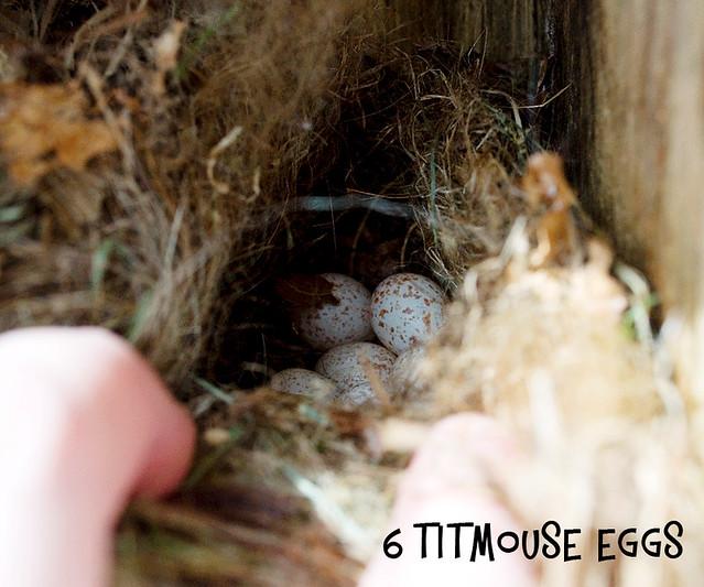titmouse Eggs