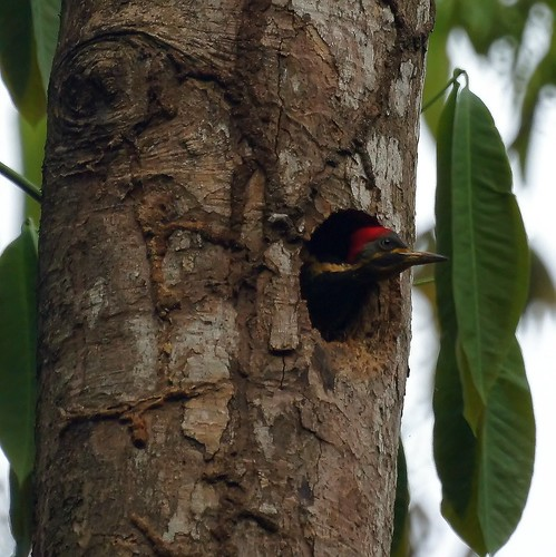 Lineated Woodpecker (juvenile)