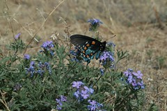 IMG_7518 (laurel@saruchan.net) Tags: ranch orange plant black flower nature forest butterfly insect high violet lavender national coronado jinks