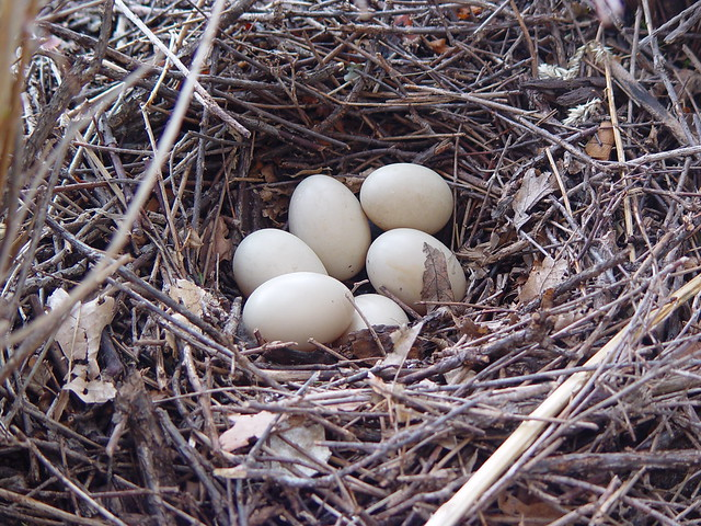 duck egg nest