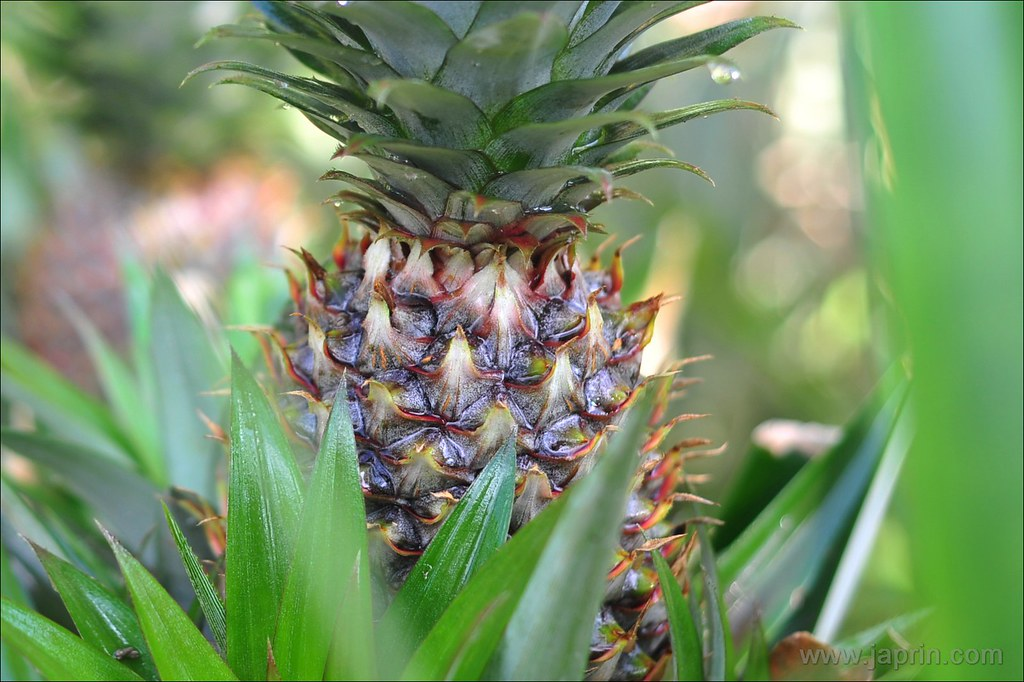 Thing at My Backyard : Pineapple 2