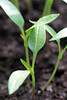 Pepper seedlings, close-up (!.Keesssss.!) Tags: nature netherlands vertical closeup pepper outdoors photography leaf stem day nopeople growth dirt seedling freshness gettyimages beginnings selectivefocus vegetablegarden royaltyfree colorimage theflickrcollection keessmans 228ksgetty
