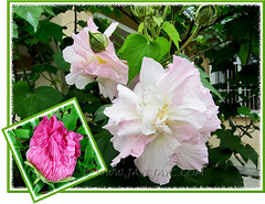 Hibiscus mutabilis (Confederate Rose, Cotton Rose): floral colours change from pure white to pink and rose-pink