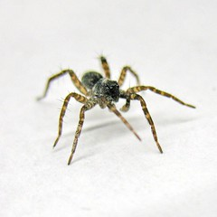 jumping spider at work (Mattijsje) Tags: fauna insect spider jumping critter creature arachnofobia