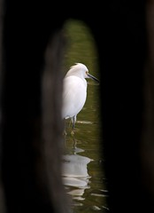 Spy (carlos_ar2000) Tags: naturaleza white lake distortion reflection tree bird blanco heron nature argentina animal arbol lago buenosaires hole reflected ave reflejo pajaro palermo mirada glance distorsion hueco garza