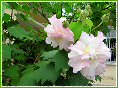 Hibiscus mutabilis, an overall view of its stunning flowers, buds, maple-like foliage and laxly stems