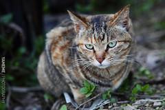 這隻心情似乎不太好... Houtong, Taipei (yameme) Tags: 侯硐 貓 cat 5dmarkii houtong taipei taiwan canon 新北市 台灣 nature animal 生態 台北