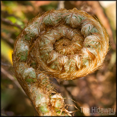 Fern (Simon Bone Photography) Tags: hairy plant fern detail macro nature closeup woodland hair coil magnified sigma105mm tehidywoods wwwthehidawaycouk canoneos7d