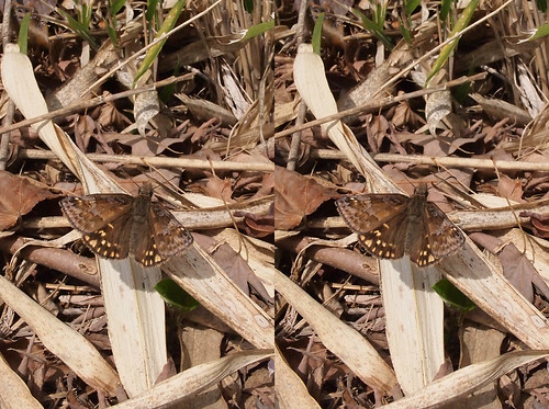 Erynnis montanus, stereo parallel view