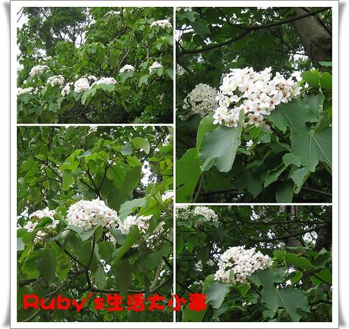 2010年油桐花 (7)