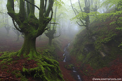 The revival of the forest / El renacer del bosque (Joserra Irusta) Tags: trees primavera rain rio fog creek forest river spring lluvia arboles bosque niebla paisvasco arroyo canon1740f4l joserrairusta thesecretlifeoftrees canoneos5dmkii wwwjoserrairustacom pndelgorbea