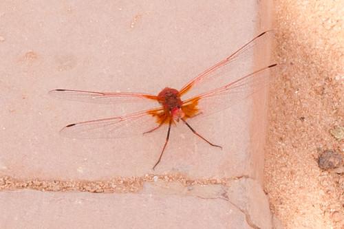 Dragonfly (I think?)