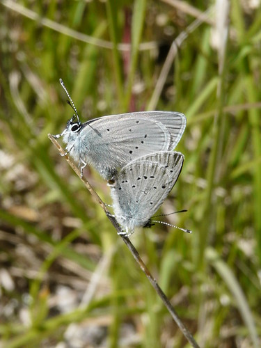 Holly Blue (Celastrina argiolus) by Peter Orchard
